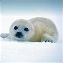 Harp Seal.