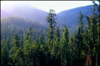 Eucalyptus regnans forest, Styx Valley, Tasmania (Photo by Geoff Law source: www.wilderness.org.au)