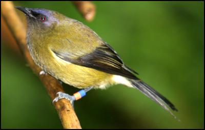 Photo by Tom Lynch, Karori Wildlife Sanctuary (Banded bellbird)