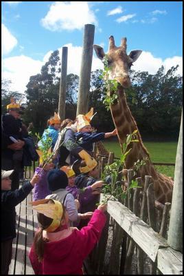 Feeding breakfast to the giraffes