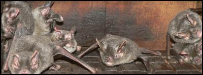 Short-tailed bats in an enclosure on Kapiti Island. Photo: Jacqui McIntosh/DOC