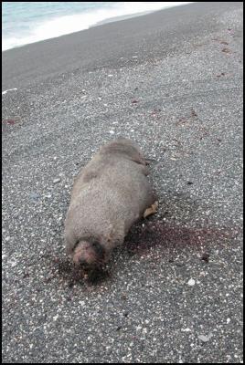 Dead Seal on Ward Beach