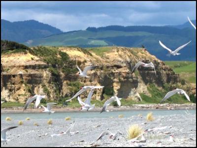 Onoke Spit grasses - Caspian terns