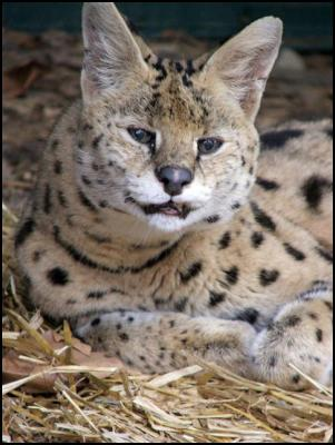 Sam the serval