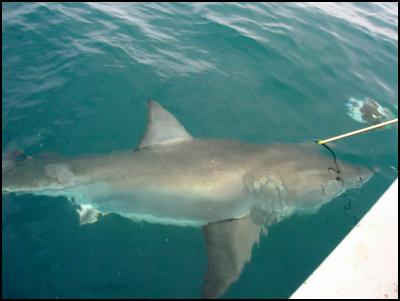 Biopsy being taken from great white shark for DNA analysis