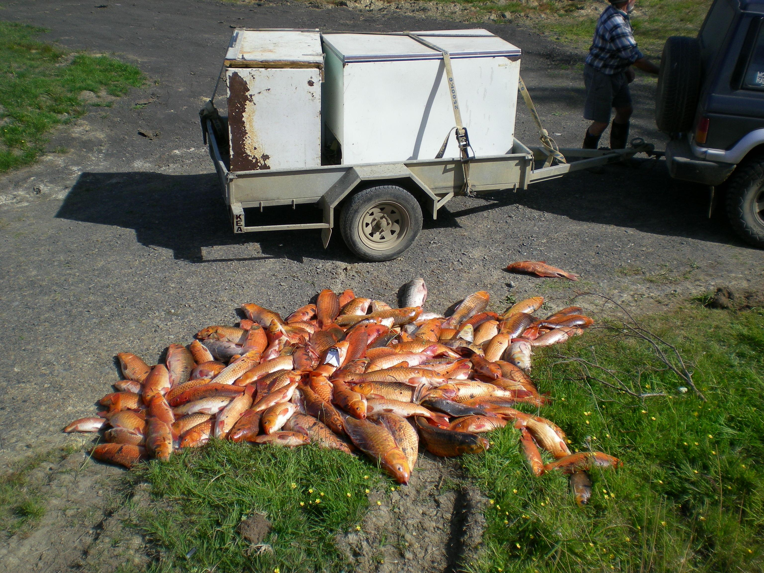 Koi carp trap trial successful at lake waikare scoop news - Kooi trap ...
