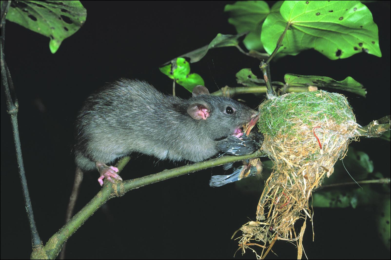 Rats Eating Bird Food