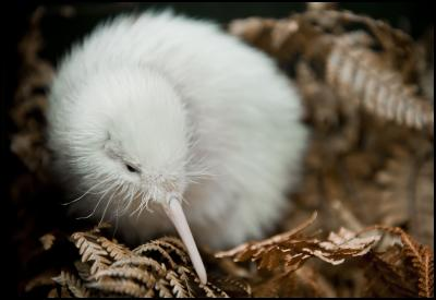 Manukura, the white kiwi chick hatched on 1 May at Pukaha Mount Bruce