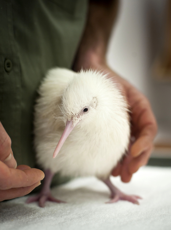 Second White Kiwi Brings White Christmas To Pukaha | Scoop ...