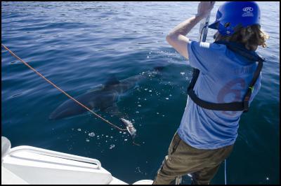 Kina Scollay shark tagging. Credit: NIWA