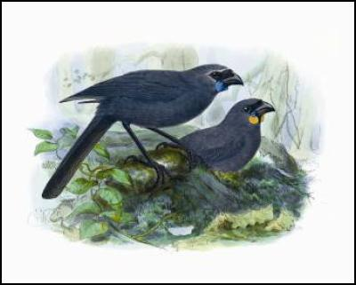 Buller's Birds of New Zealand: The Complete Work of JG Keulemans – kokako and koka