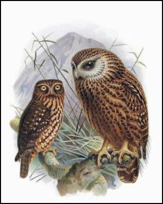 Buller's Birds of New Zealand: The Complete Work of JG Keulemans – ruru and whekau