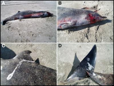 stranded spade-toothed beaked whale discovered
