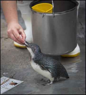 Little Penguins make big splash at National Aquarium
