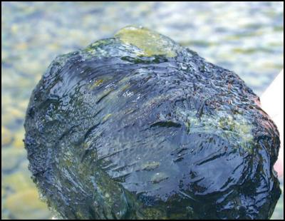 Toxic algae on rock