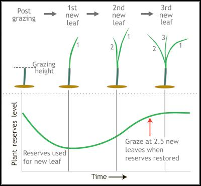 Once rain comes don't graze until ryegrass tillers each have 2.5 leaves, so plant reserves are replenished for re-growth.