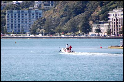 orcas in wellington harbour