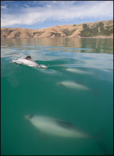 Photo credit; Steve Dawson. Hectors off Onawe mid-winter show Hector's dolphins well within the flounder area in mid-winter.