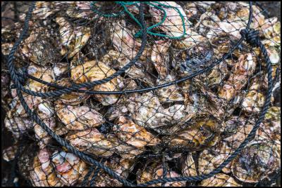 Urgent removal of flat oysters from Stewart Island farm