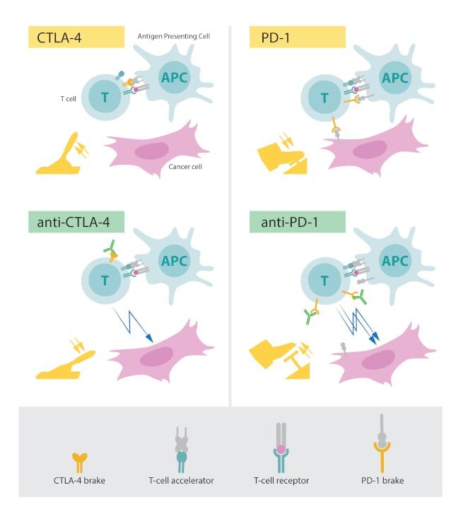 CTLA- 4 action