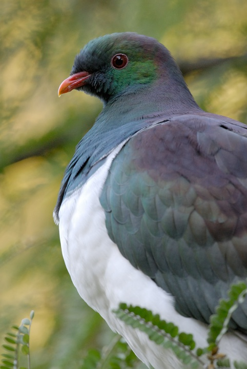 keruru, woodpidgeon