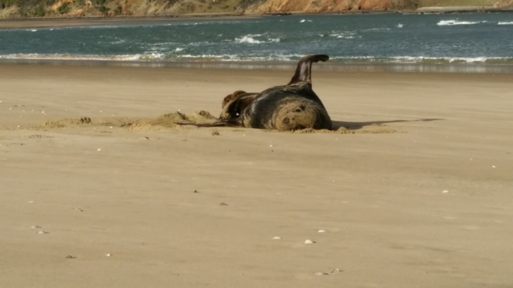 a sea lion rolling around on a beach