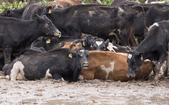 a group of cows, some leg-deep in mud