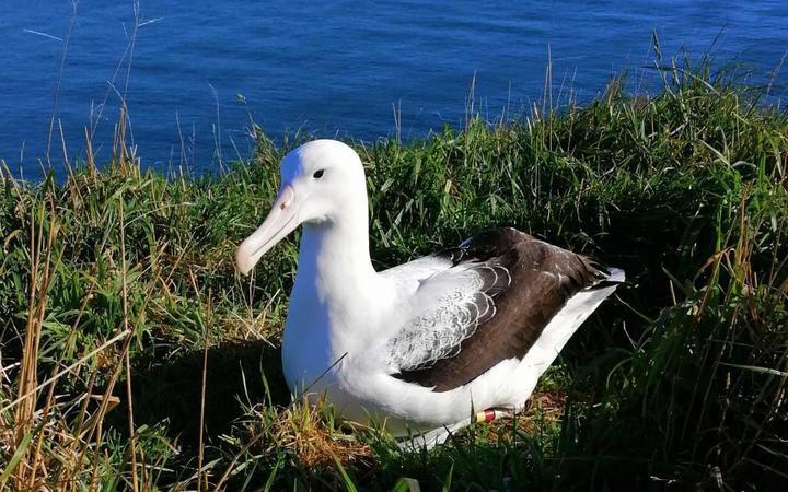 an albatross sitting in grass