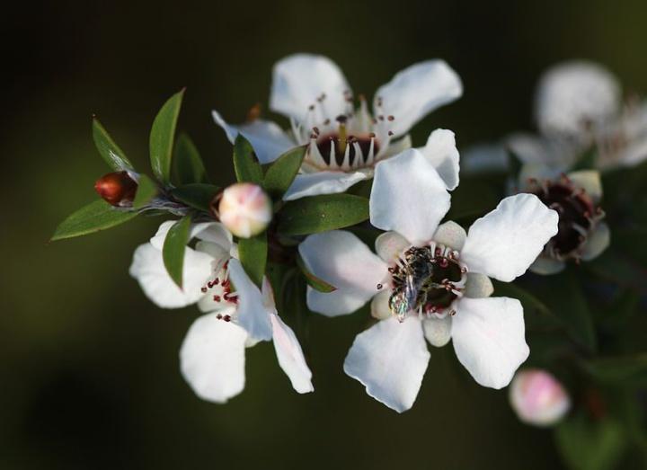 manuka flowers with native bee